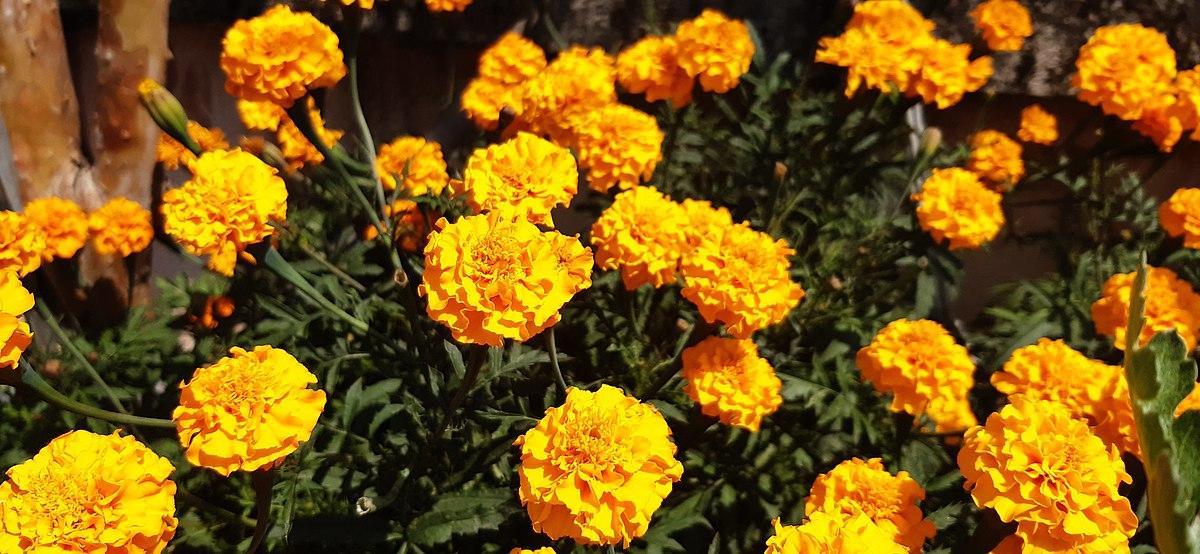 1200px-Tagetes-Marigold-Flower_08